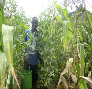 Pigeonpea for soil quality and food