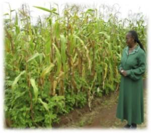 Tephrosia vogelli for soil fertility and fuelwood