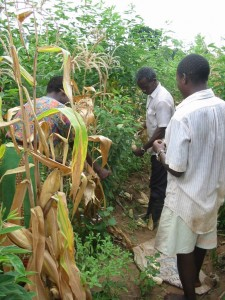 Pigeonpea stand at time of maize harvest