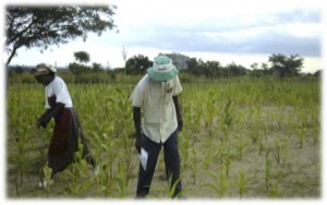 Degraded soils: Field in Zimbabwe where nitrogen losses and soil organic matter depletion has undermined crop growth, making agriculture risky.