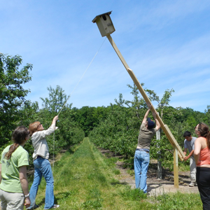 Dr. Lindell raises a kestral box in a cherry orchard
